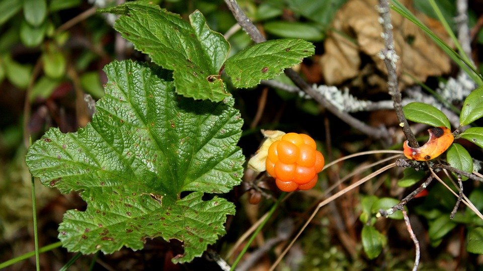 cloudberry-in-nature
