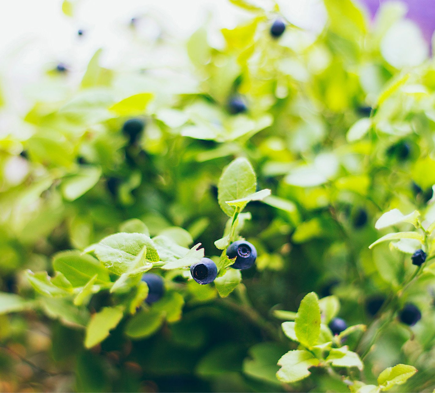 blueberries-parallax